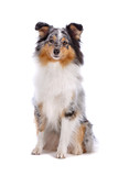 Shetland Sheepdog, Sheltie dog isolated on a white background poster