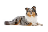 Shetland Sheepdog, Sheltie dog lying, isolated on white poster