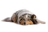 Front view of shetland sheepdog, sheltie lying down poster