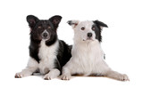 Two cute border collie dogs isolated on a white background