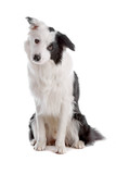 Cute border collie dog sitting, isolated on white background