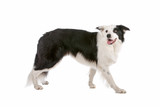 Side view of border collie dog stepping