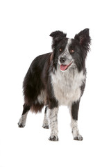 Front view of border collie dog panting