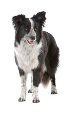 front view of border collie dog isolated on white