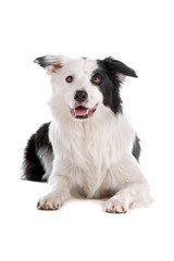 Black and white border collie dog panting