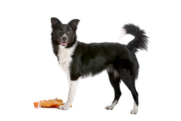 Side view of border collie dog and a toy