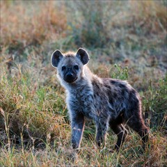 Young Spotted hyena.