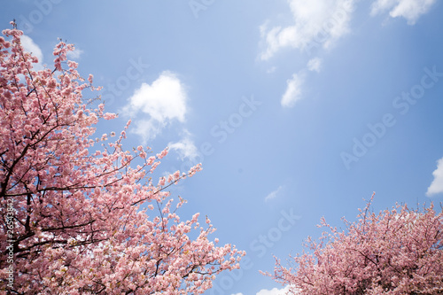 Fototapeta 桜と空