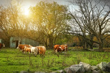 Cattle gazing on remaining green grass poster