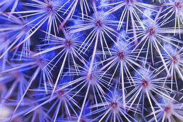Kaktus Lichspiel blau