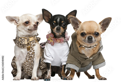 Three Chihuahuas dressed up