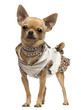 Chihuahua, 14 months old, dressed up and standing