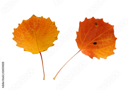 Two aspen leaves