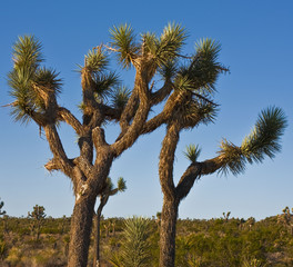 A joshua tree in high desert