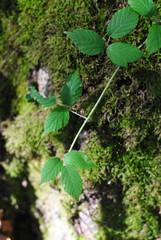 Ronces et mousse en forêt, 2010