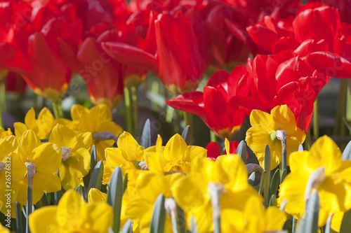 Red Tulipd and Yellow Daffodils Fields, Netherlands