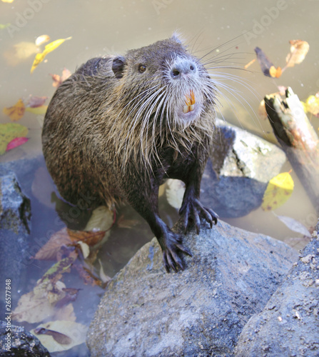 hungry nutria