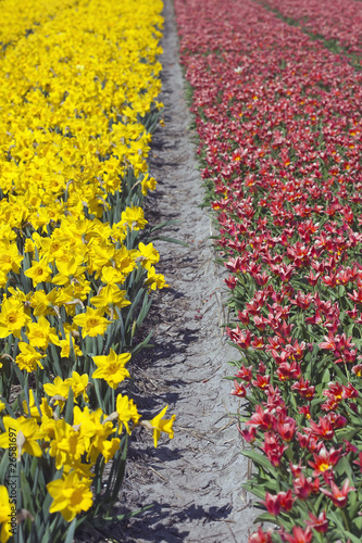Red and Yellow Tulip Fields, Netherlands