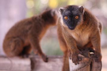Lemur mayottensis (Maki)