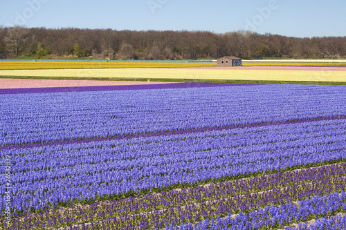Hyacinths fields, Netherlands