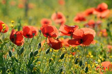 Papaveri, fiori spontanei di campo