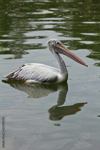 Great White Pelican on water.
