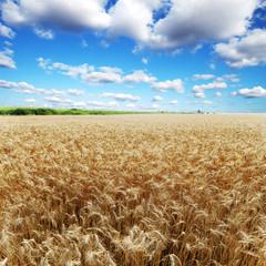 ears of wheat under sky