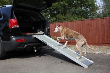 Dog walking up ramp into car