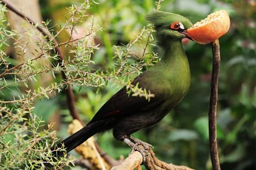 Turaco munching on an apple