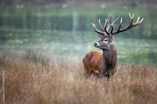 Foto op Aluminium Hert cerf cervidé chasse brame bois cor forêt roi fier mammifère s
