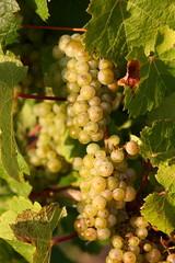 Weintrauben an der Mosel