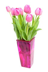 Dutch pink tulips over white background
