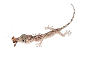 gecko babe eat roach isolated