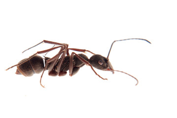 ant isolated