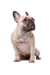 French Bulldog isolated on white