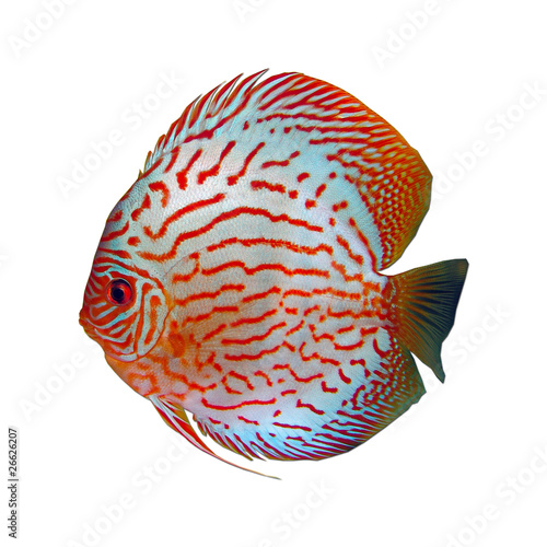 Discus symphysodon pesce tropicale immagini e fotografie for Pesce discus