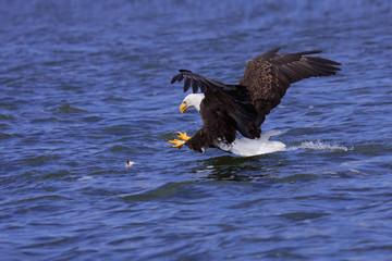 a focused bald eagle attcks its prey