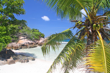 Palm tree with coconuts, Grand Soer, Seychelles