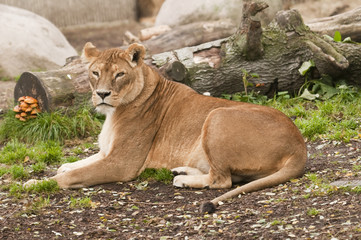 Female subject of lion, Panthera leo
