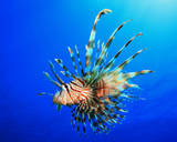 Fotoroleta Lionfish