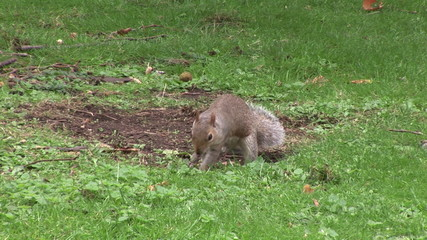 Little squirrel looking for acorns in a park
