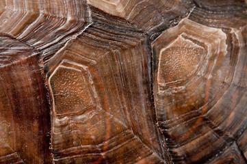 Skorupa żółwia