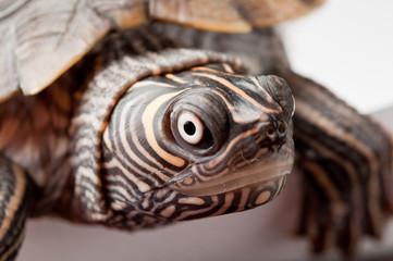 Żółw #2