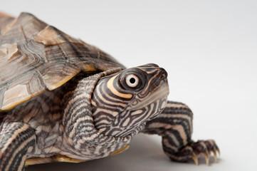 Żółw #1
