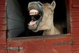 Fototapety Lachendes Pferd