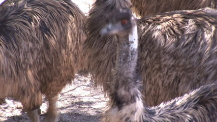 Two ostriches standing in a zoo