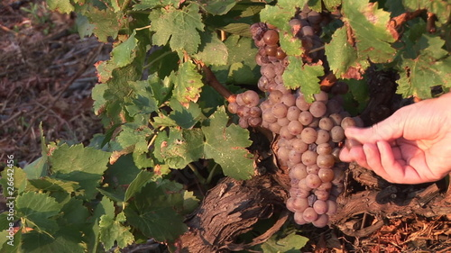 Close up of a farmer touching grapes in a vineyard