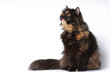 Persian tortie cat sits on white bakcground looks on the left up