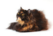Persian tortie cat on white background looks on the left upwards