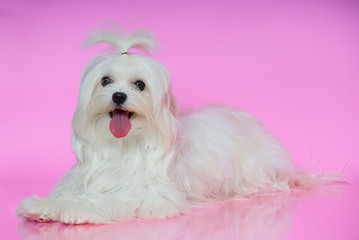 A cute white Maltese dog lies on smooth surface în pink backgrou
